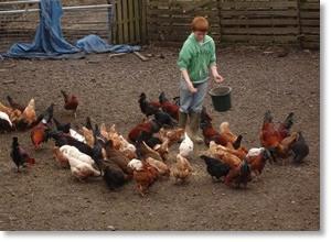 Tom feeding the chickens