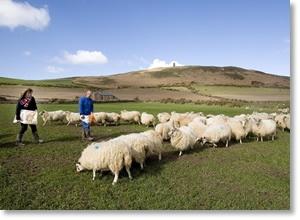 Feeding the sheep at lambing time