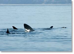 Basking sharks on the west coast of the Isle of Man