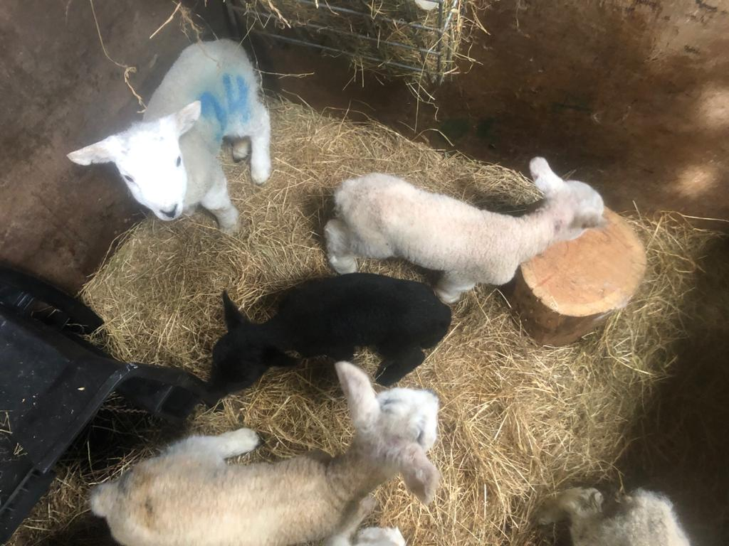 New lambs born at Knockaloe Beg Farm